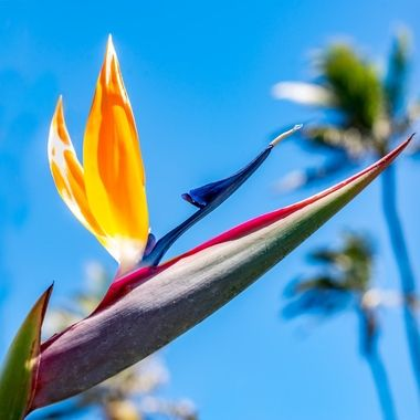 Low angle shot of Bird of Paradise in paradise.