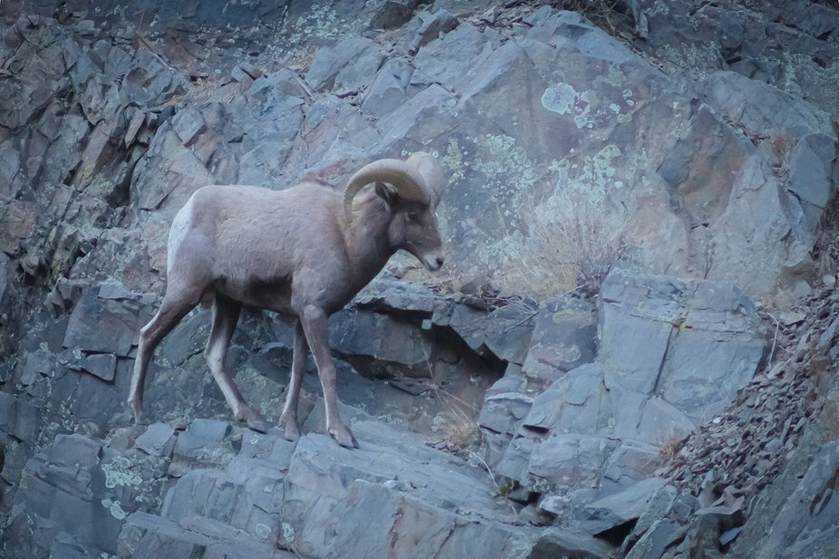 A Big Horn Sheep in Northern Colorado near Estes Park, Colorado