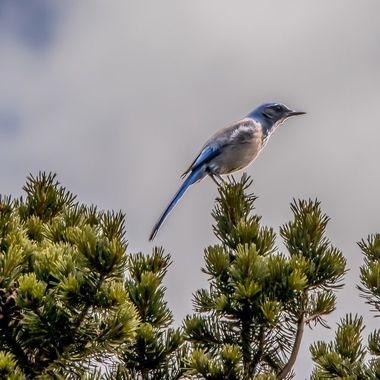 Scrub Blue Jay