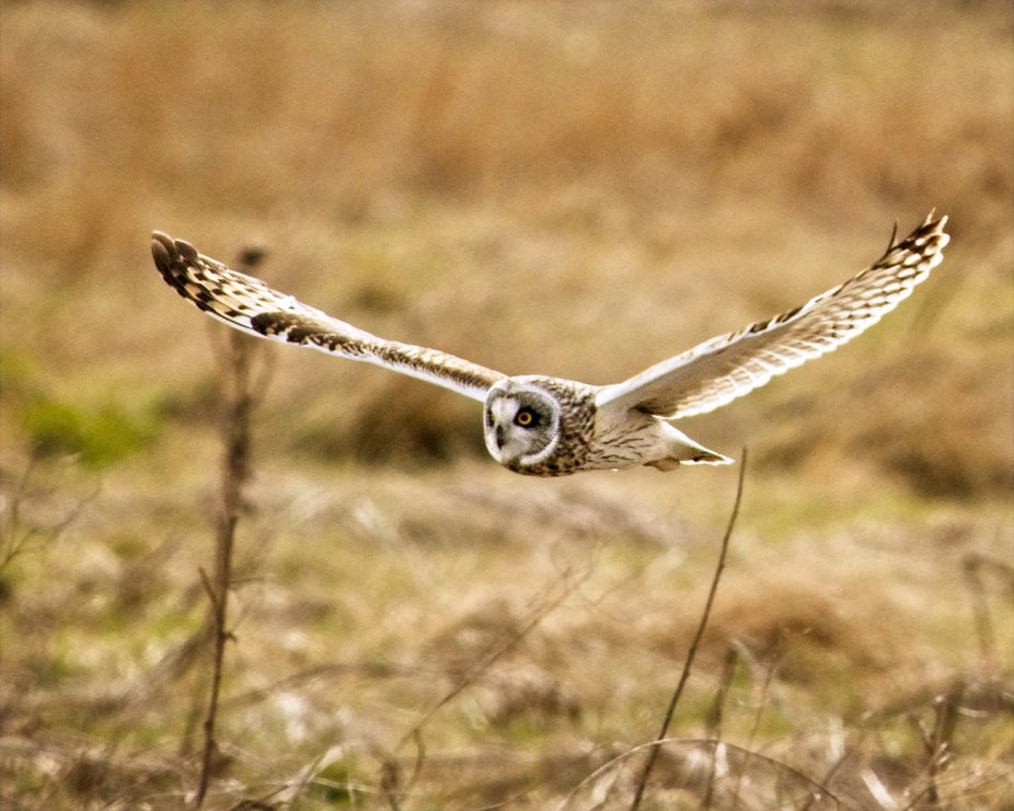 A Short-eared owl soars over the grassy field hunting for a bite to eat in the Skagit Valley of Washington.