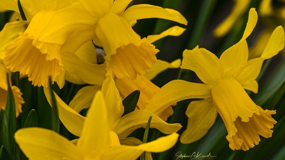 Daffodils at the Planting Fields Arboretum.