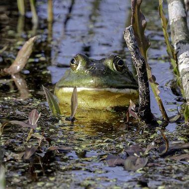 Frog in Spring.  DSC_3492