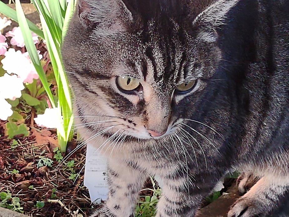 Kitty Kat inspecting the garden flowers.  Loves photos!
