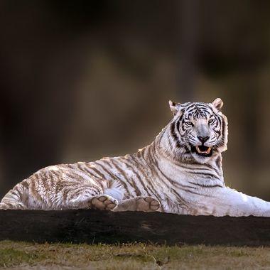 HUGE... White Tiger