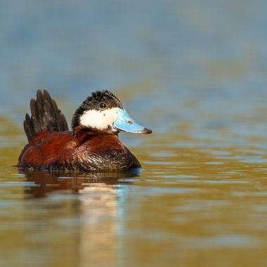Ruddy Duck DSC09034