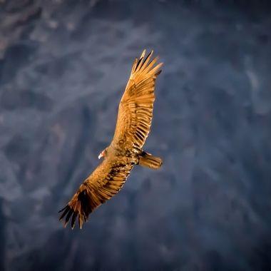 Condor - Grand Canyon