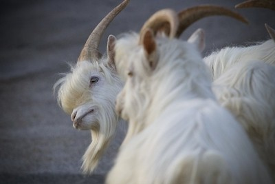 Infamous Llandudno Goats
