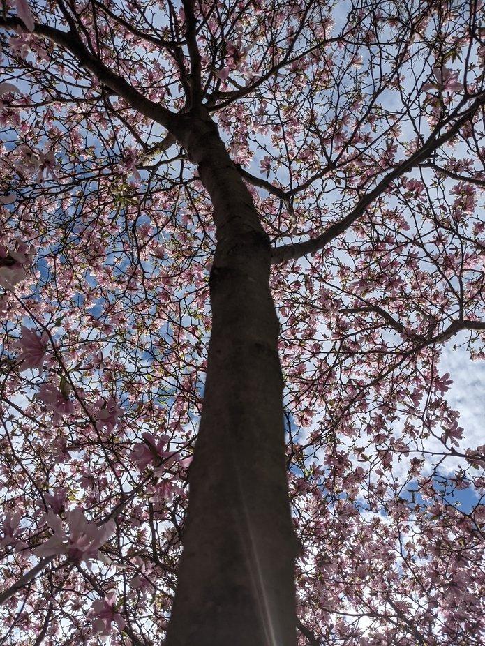 Up the Magnolia Tree