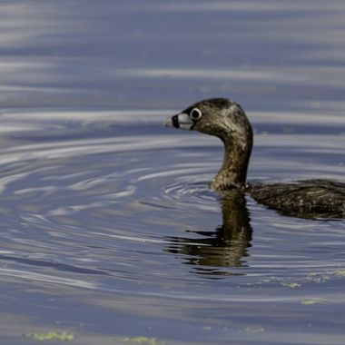 Pied-billed Grebe just emerged from a dive in a large pond in Maryland  DSC_3844