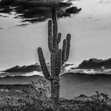 B&W Cactus