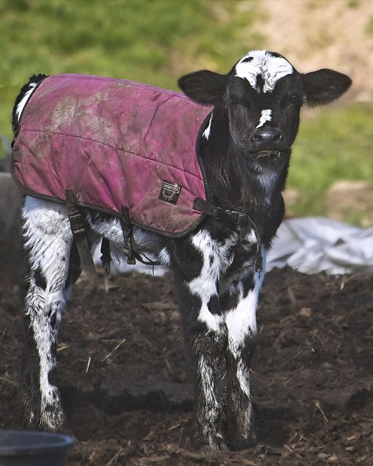 New baby calf with a coat to keep it warm on our cold spring mornings.