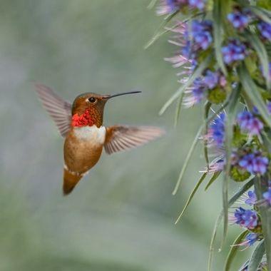 Allen's Hummingbird DSC09733