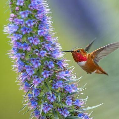 Allen's Hummingbird DSC09795