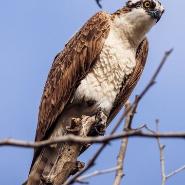 An Osprey looks down over a lake for fish