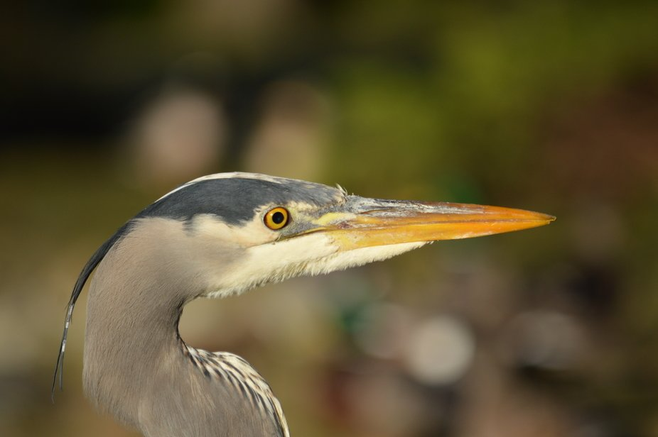 Head shot of my buddy heron who I was able to develop a relationship with (I was tolerated lol)