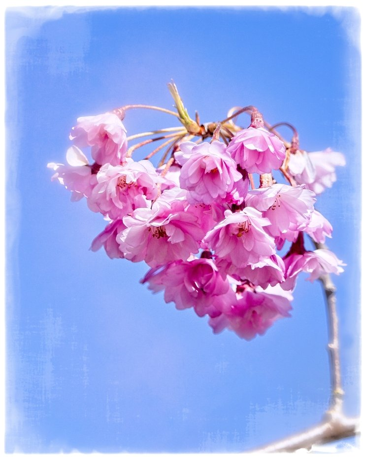 Beautiful blossoms in the springtime warm us all up. Textured to give a painterly look and feel...