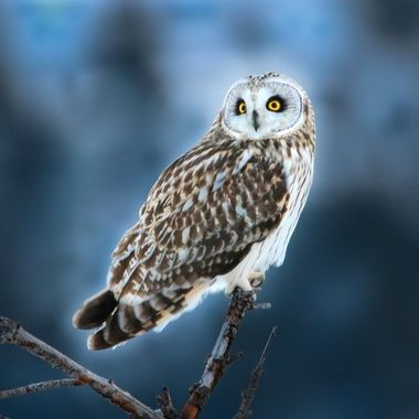 Short eared owl near Stump Lake B C