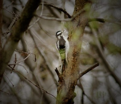 Downy Woodpecker By Yannis Lobaina .jpeg