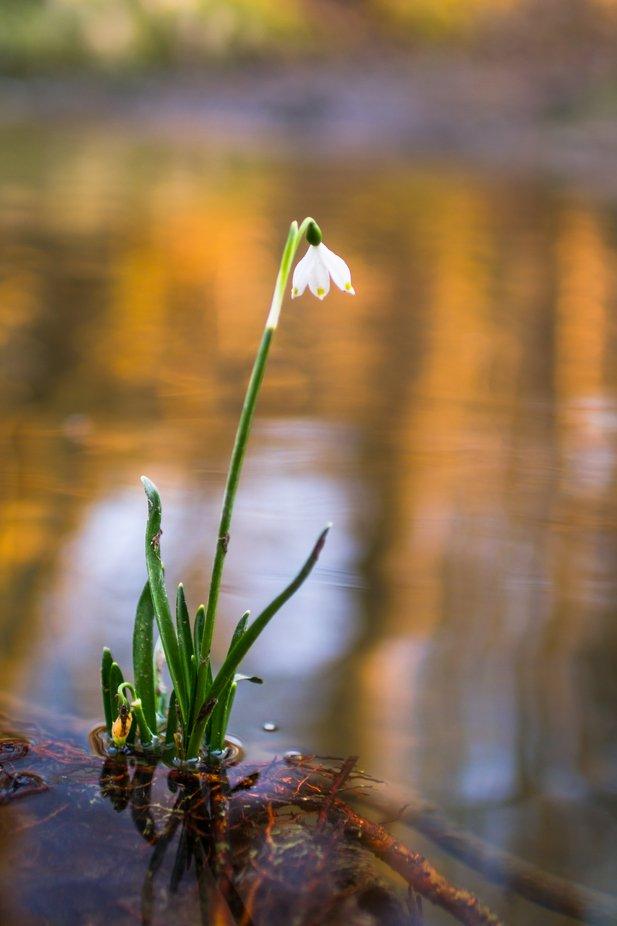 spring snowflake in steam, Leucojum vernum