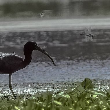 This Glossy Ibis photo-bombed my picture of a Dragonfly in flight.  DSC_3930-Edit-Edit