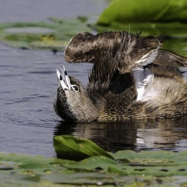 Pied-billed Grebe stretching and drying his wings between dives.  DSC_3983