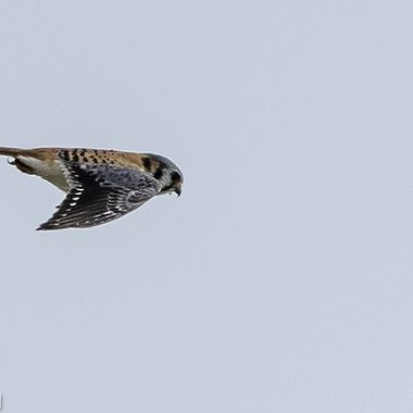 I found this male American Kestrel hunting the edge of a field that was also being hunted by a Northern Harrier.