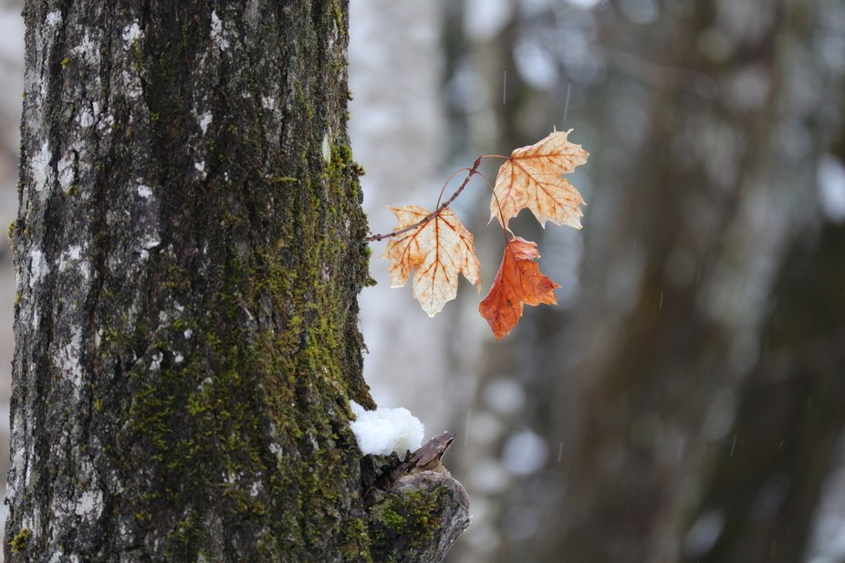 When I took this picture I was very impressed that the leaves made it through the winter in good ...