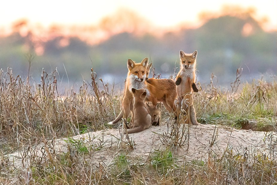Vixen With Her Four Kits