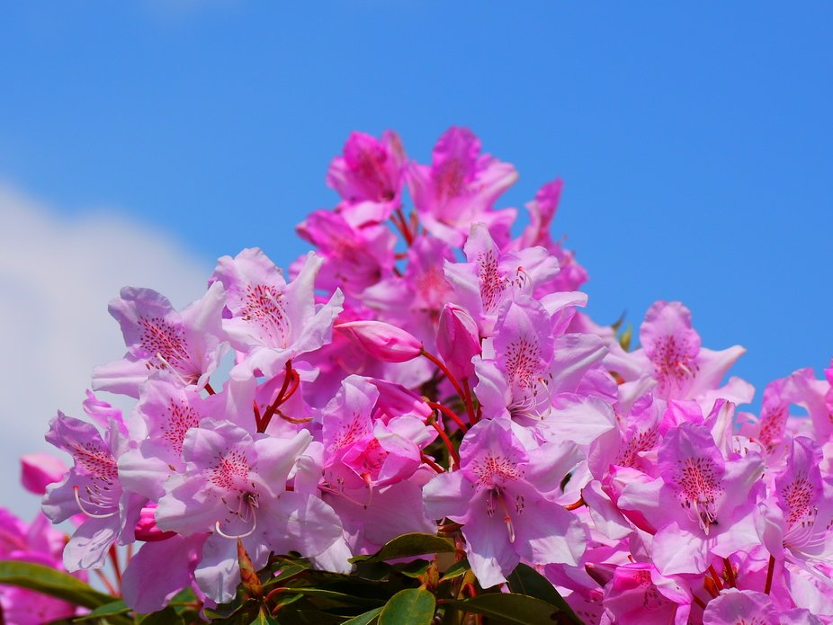 Beautiful Rodordendrum Shrub picture taken in my English Country garden in southwest Cornwall ful...