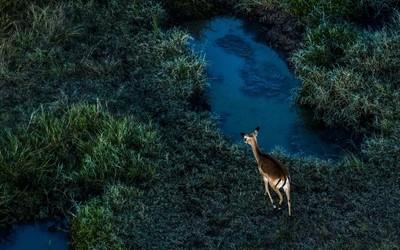 A lonely impala (1)