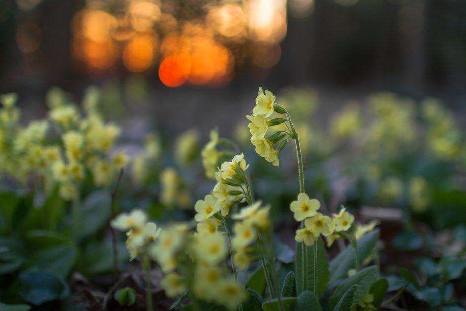 primrose, Primula veris