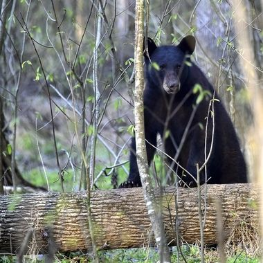 The Pungo National Wildlife Refuge in eastern NC is chock full of wonderful wildlife. It's also home to a very large black bear population.