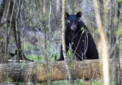 Along the bear trails