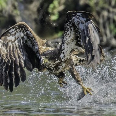 I cropped this photo a bit more so there is less distraction from the background and I also lowered the highlights on the splash more.  This juvenile bald eagle has presented me some challenges.  Though the action is great, the color of the water and the trees are great but the size of the pond is just not large enough so that it is hard to isolate the moment of lifting the fish out of the water with the shore line from the opposite side to yield a clean eagle without distraction from the background.  This is also true for the osprey coming to the same pond for fish deeper below the surface of the water.  I have tried walking around and not successful in finding a better spot to get a cleaner shot.  Any ideas how I can make this a better photo in post-processing?  Hope I can receive some valuable suggestions...