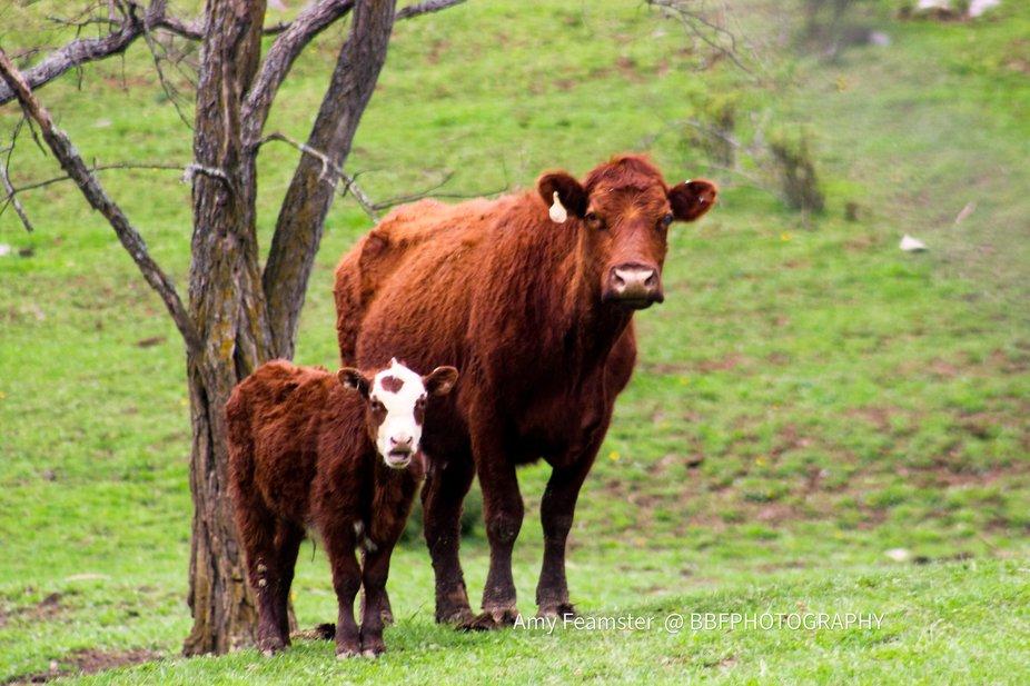 What a cute new spring calf