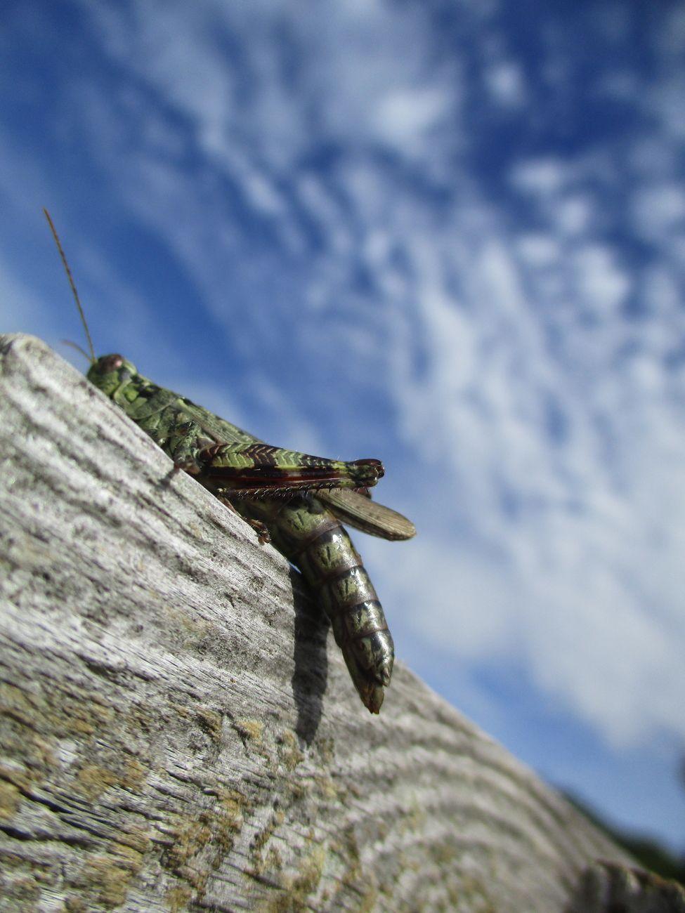 Emerald Grasshopper by Yannis Lobaina.