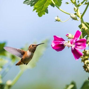 Hummingbird Feeding Mid-Flight