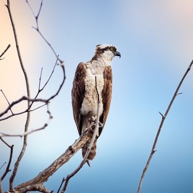 An Osprey looks for fish in a park lake near sunset