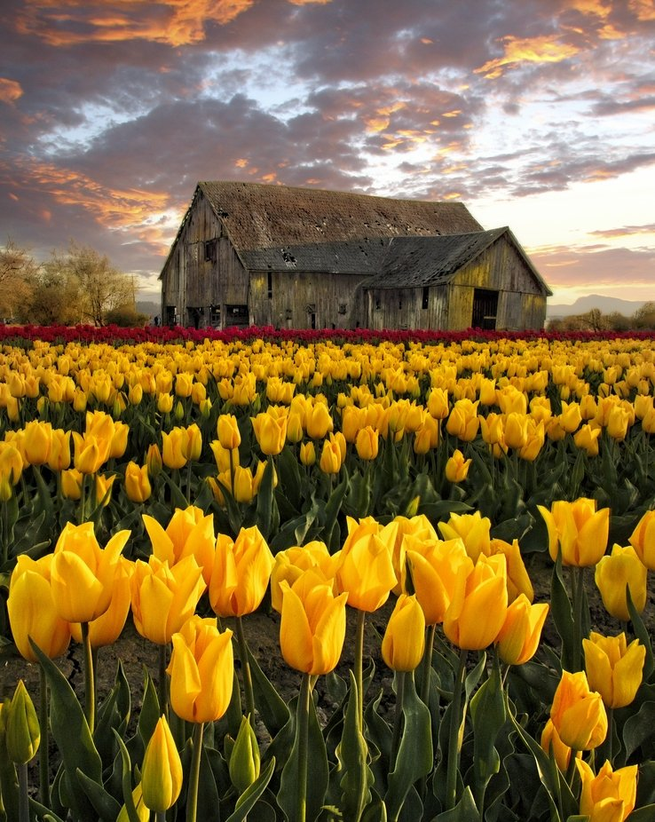 April is the time when tulip fields are in full bloom in the Skagit Valley of Washington. The valley is also full of old barns. This image is able to capture both at the same time.