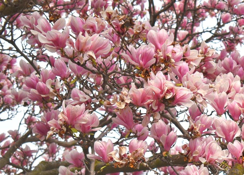 Magnolias in My Neighborhood