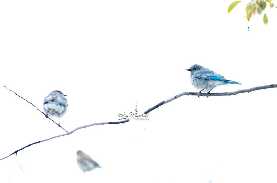 A Pair of Mountain Blue Birds