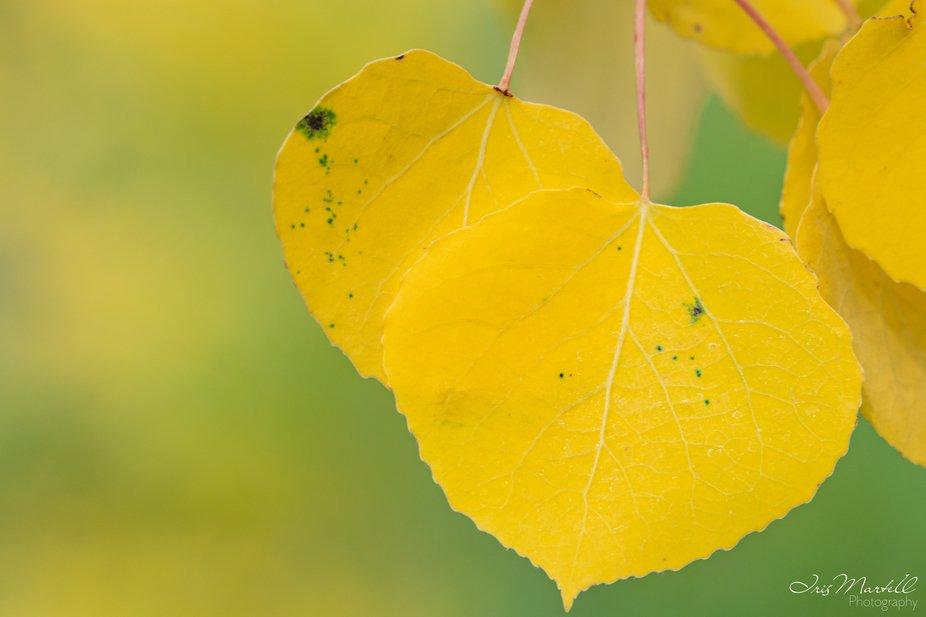 Golden Aspen Leaves