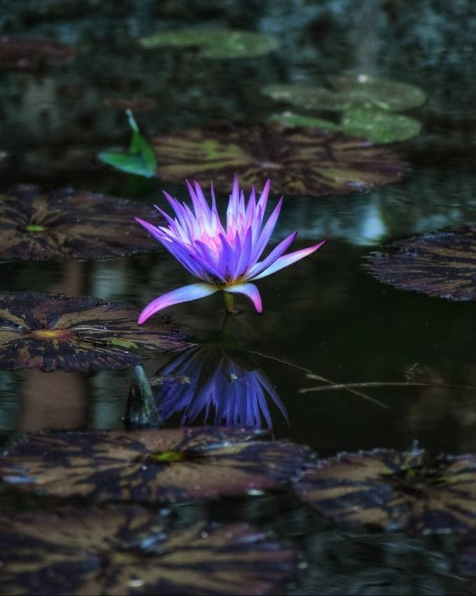 Beautiful night at Vizcaya Gardens allowing me to capture this beauty! With all lily pads surrounding and water reflecting light to create such a rainbow of color I've never seen