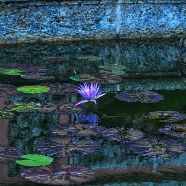 low external light offered this beauty of color from a pond at Vizcaya Gardens in Coconut Grove, Fl