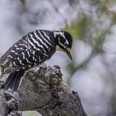 Nuttall's Woodpecker DSC06388