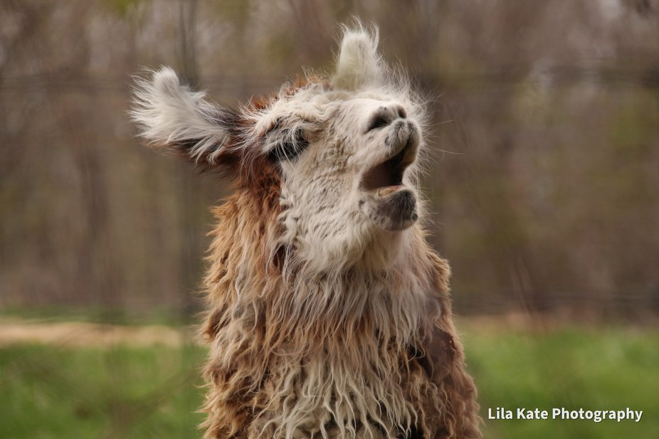 Chartlon, Ma, just driving through stumbled on these Llamas, starved for attention  or wanted foo...