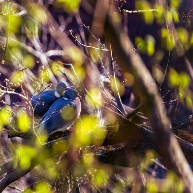 Pigeons cuddling in spring time