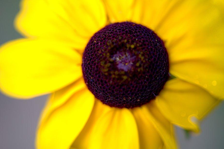 WildMiniSunflower