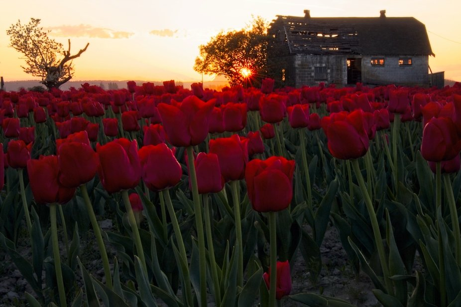 April is the time when the tulip fields of the Skagit Valley of Washington are in bloom. There are many old barns and this image brings the two together at sunset.