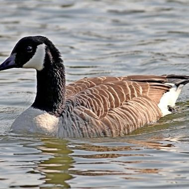 The Canada goose is a large wild goose with a black head and neck, white cheeks, white under its chin, and a brown body. It is native to the Arctic and temperate regions of North America, and its migration occasionally reaches northern Europe.